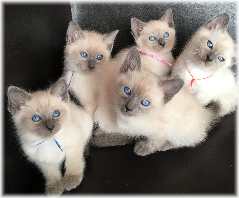 Le célèbre Les Siamois Thaï | Le siamois, un chat pas comme les autres... &KQ_12